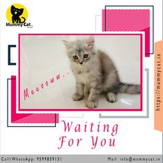 Persian cat or kitten for sale in Delhi, Chennai and Kerala. Persian cat price in India is very reasonable at Mummy Cat. We also offer Persian cat in different colors. Persian Cat Price, Persian Cats For Sale, Kids Flower Girl Dresses, Adoption Papers, Kitten For Sale, In Mumbai, Cat Love, Digital Scrapbooking, Cats And Kittens