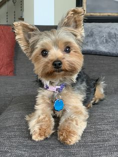Yorkies, Yorkie Puppy, Teacup Puppies, Cute Dogs And Puppies, I Love Dogs, Teacup Yorkie, Cute Dogs Breeds, Dog Breeds, Cute Dog Photos