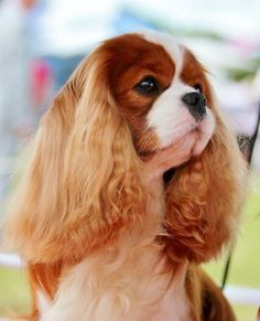 Beautiful Cavalier