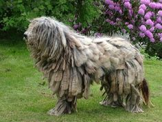 bergamasco shepherd dog photo | Бергамская овчарка (Bergamasco Sheepdog ...