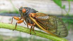 Weird Ice Cream - Cicada