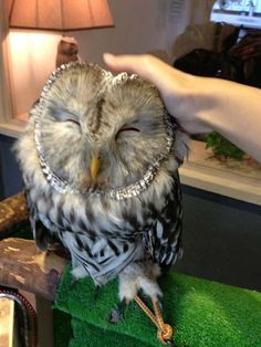 Fukuro No Mise...Owl Cafe in Tokyo, where patrons can interact with live owls while having coffee or tea.  I MUST go here!