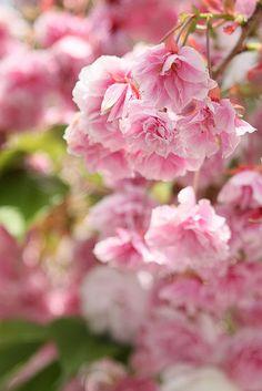 八重桜, via Flickr.