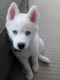 A white husky!! #pomskywhite