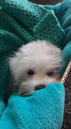 Maltese puppy Cute Puppies, Cute Dogs, Dogs And Puppies, Adorable Babies, Doggies, Teacup Maltese, Maltese Dogs, Baby Animals, Cute Animals