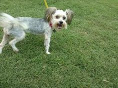 Maranda is an adoptable Yorkshire Terrier Yorkie Dog in Carrollton, TX. 7-18-2013-Meet Maranda, an adorable little girl, who was transferred from a local city shelter and brought to Operation Kindness...