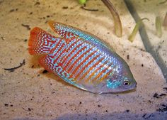 Dwarf Gourami    Tank Size: 15 Gallons  Care Level : Easy    Size : 3 inches      Temperature : 77°F - 82°F    pH : 6 - 8  Hardness : 5° to 20° dH    Life span : 3 - 4 years  Tank Region : Middle to top    Population: 1 pair per 15 gallons  Notes: The substrate should be dark to bring out the colors of this pretty fish. Plant the corners and sides of the tank heavily and allow open swimming areas in the middle. A few floating plants are recommended to provide areas of shade.