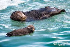 Another wild sea otter pup born outside Monterey Bay Aquarium! - March 9, 2016 - More at today's Daily Otter post: http://dailyotter.org/2016/03/09/another-wild-sea-otter-pup-born-outside-monterey-bay-aquarium/
