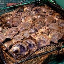 真珠取り出し体験 http://isesima.info/pearl-miki/collecting/