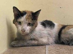 MARCY - ID#A1000793  I am an unaltered female, calico Domestic Shorthair mix.  The shelter staff think I am about 7 months old.  I weigh 6 pounds.  I was found in NY 10463.  I have been at the shelter since May 23, 2014. www.PetHarbor.com pet:NWYK.A1000793