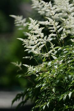 Astilbe (astilbe japonica) Works in shade garden? Moon Garden, Dream Garden, Shade Garden, Garden Plants, Beautiful Gardens, Beautiful Flowers, White Gardens, Garden Cottage, Gardening