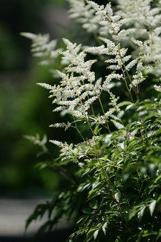 astilbe (astilbe japonica)