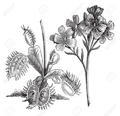 meat eating plants drawing - Google Search