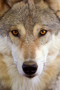 California's Only Known Wild Gray Wolf Pack Welcomes 3 New Pups