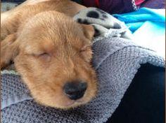 Afbeeldingsresultaat voor basset fauve de bretagne pup