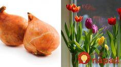 Na pestovanie tulipánov nepotrebujete ani centimeter pôdy. Jednoduchý trik, ako ich vypestovať v byte! Pear, Flora, Ale, Fruit, House, Home, Ale Beer, Plants, Homes