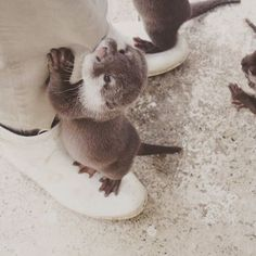 Human has an otter on each foot - February 9, 2017