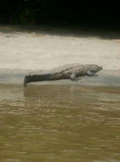 #cocodrilo #chiapas #cañóndelsimidero