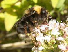 The Xerces Society has plant lists to attract CA native bees, instructions on building bee boxes and lots of other helpful information