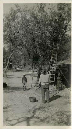 """Lucera - """"Lucera Camp Picking Olives"""" :: Albert Chance World War II Collection- Il reporter americano Albert Chance arrivò in Italia nell'estate del 1944 insieme alle truppe angloamericane: ci rimane un ritratto fedele e commovente del nostro Paese, che Gustodaunia vuole qui condividere con voi e con gli amanti dell'Italia in tutto il mondo. #puglia #italy #vintage #history"""