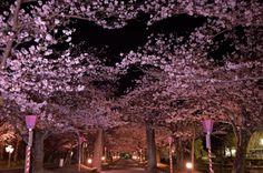 158:「人気の夜桜スポットは、夜遅くなっても訪問者は絶える事はありません。」@大村公園