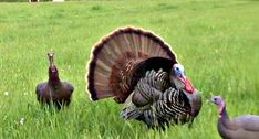 Where Do You Really Shoot a Turkey with a Bow? Where Do You Really Shoot a Turkey with a Bow? Bow Hunting Deer, Quail Hunting, Turkey Hunting, Survival Weapons, Tactical Survival, Survival Gear, Wilderness Survival, Survival Prepping, Crossbow Hunting