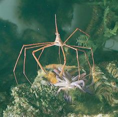 Norwegian spider crab