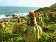 wild cactus on the cliffs at south east coast of Mustique, St Vincent and Grenadines (by dick_pountain).