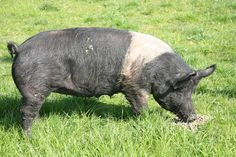 Berkshire Hogs and Pigs | Hampshire Pig