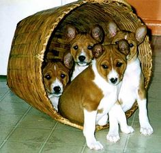 My Basenji Pups they were all gathered in the basket asleep …. when they heard me get close to them to take a picture the woke up and .. sleepily posed for ...