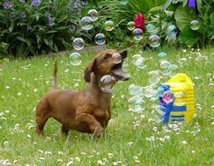 Image result for dachshunds playing together