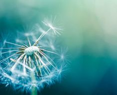 dandelion photography nature dandelion wall art by mylittlepixels