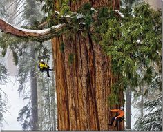 3,200 year old giant sequoia Sierra Nevada. World's largest tree
