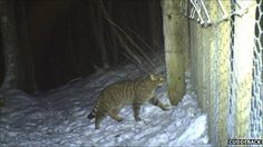 Camera traps capture new Scottish wildcat sites in the Cairngorms