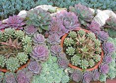 Succulent landscaping