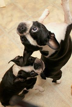 Dancing Bostons! Nothing in this world like a Boston Terrier!!!