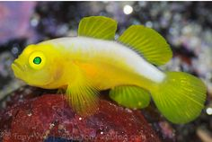 Lubricogobius dinah, not your run of the mill clown goby