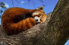 "Sleepy Red PanzzzzzzzzzzzzzZZZZZZZzzzz  ""Red Panda at Norfolk, Virginia Zoological Park 2015"": https://flic.kr/p/rvw3d3 von Ron Meck: https://www.flickr.com/photos/ronmeck/, CC BY NC 2.0: https://creativecommons.org/licenses/by-nc/2.0/"