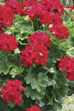 calliope dark red geranium,great for flower boxes,min sun 4-5 hrs