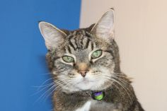 Meet Jenna, a Petfinder adoptable Tabby Cat Looking For Someone, New Friends, Meet, Cats, Animals, Gatos, Animales, Animaux, Kitty