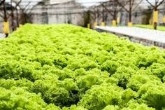 Hydroponic Farm Startup Cost – All You Need To Know Hydroponic Lettuce, Hydroponic Farming, Hydroponic Growing, Growing Plants, Growing Vegetables, Hydroponic Strawberries, Vegetables List, Growing Microgreens, Aquaponics System
