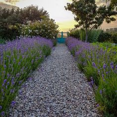 Find all the information about Growing lavender. You can read Growing lavender methods at home. Garden Borders, Garden Paths, House Without Walls, Growing Lavender, Pergola Designs, Green Plants, Hedges, Garden Inspiration, Vegetable Garden
