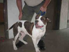Mitzi is an adoptable Bullmastiff Dog in Eugene, OR. She is an 8 month old white and dark brown brindle Bulldog/Mastiff Mix. She is spayed, microchipped, and vaccinated. A rescue evaluator met her and...