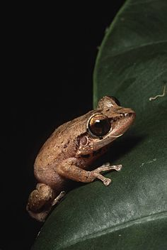 EL YUNQUE. PUERTO RICO. CARIBBEAN NATIONAL FOREST. COQUI FROG ON LEAF.