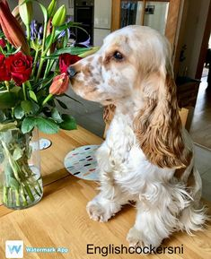 Mondays dont get Miss Martha downinstead she enjoys smelling the roses#cocker #cockers #cockergram #cockerlove #cockerlove #orangeroan #cockerspaniel #cockerspaniels #cockerspanielpuppy #cockerspaniellove#cockerspanielclub #cockerpuppy #cockerspanielworld #cockerlovers #cockerspanielsofinstagram #instacocker #ilovemycocker #cockerspanielcuties #spaniel #spaniellove #spanielpuppy #spanielsofinstagram #spaniels #puppy #puppylove #dog #pup#englishcocker #englishcockerspaniel #royalcanin…