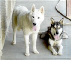 Aleya **COURTESY POSTING** is an adoptable Siberian Husky Dog in Cedar Crest, NM. This sweet pair was found starving, chained to a tree in the woods! They are Husky/Shepherd/low content wolfdog mixes ...