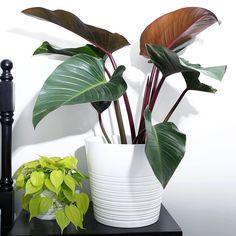 """Philodendron """"Congo Rojo"""", Philodendron Cordatum """"Neon"""""""