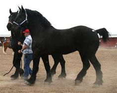 Team of Percherons.....another big favorite.  Riding one of these is like sitting in a rocking chair. mmmmm