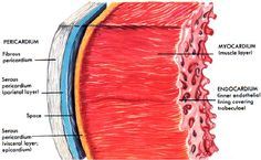 Heart diagram anatomy and physiology lab pics pinterest heart heart layers pericardium endocardium myocardium anatomy physiology cardiovascular ccuart Choice Image
