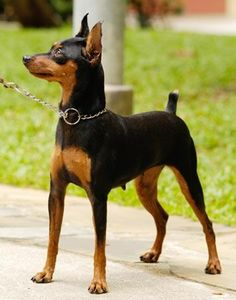 Classic Min Pin Pose. I DO NOT agree with cropping the ears or tail of any breed. I wish the AKC and other such orgs would get it together and realize how terrible this is.